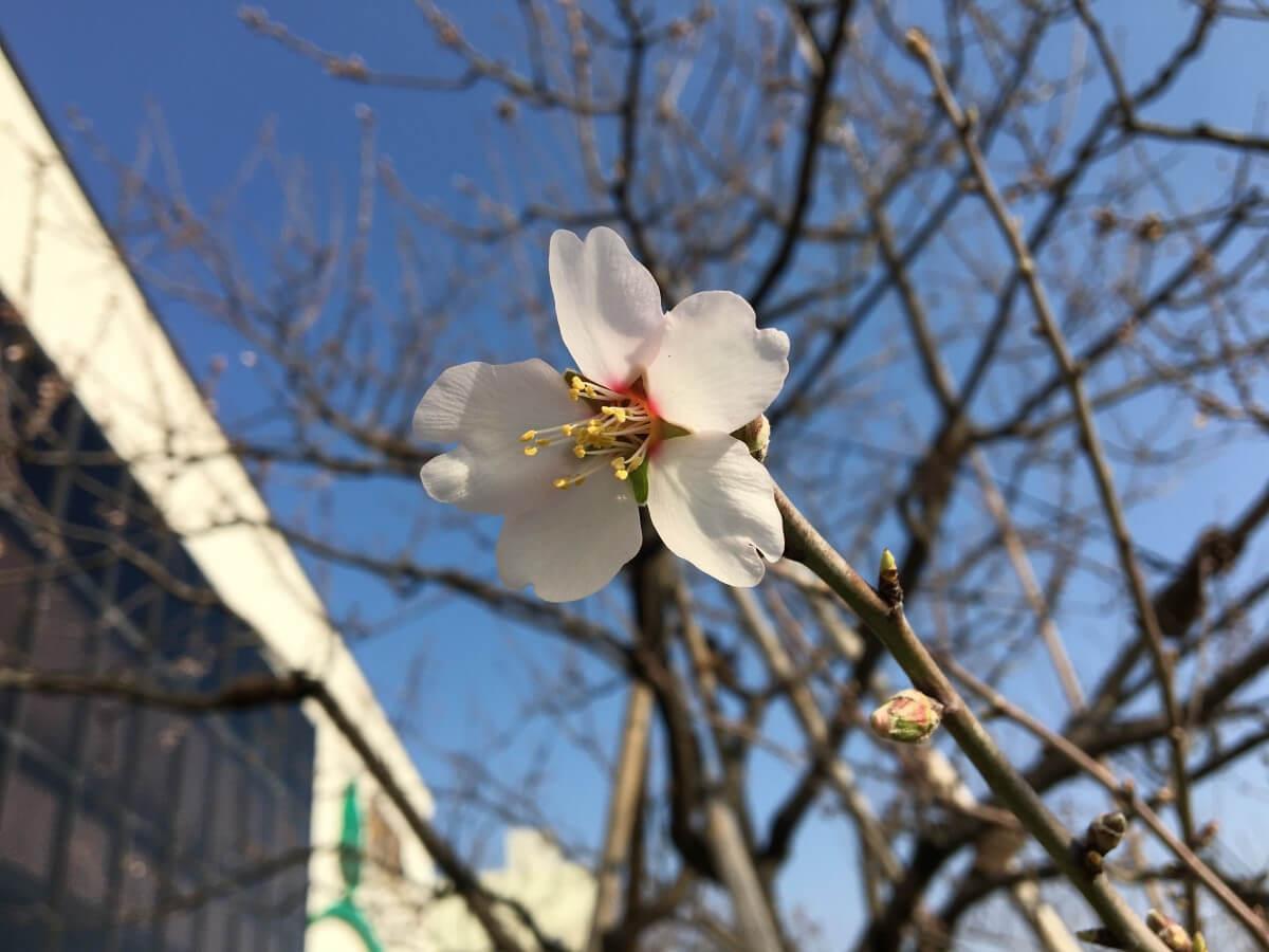 アーモンドの開花