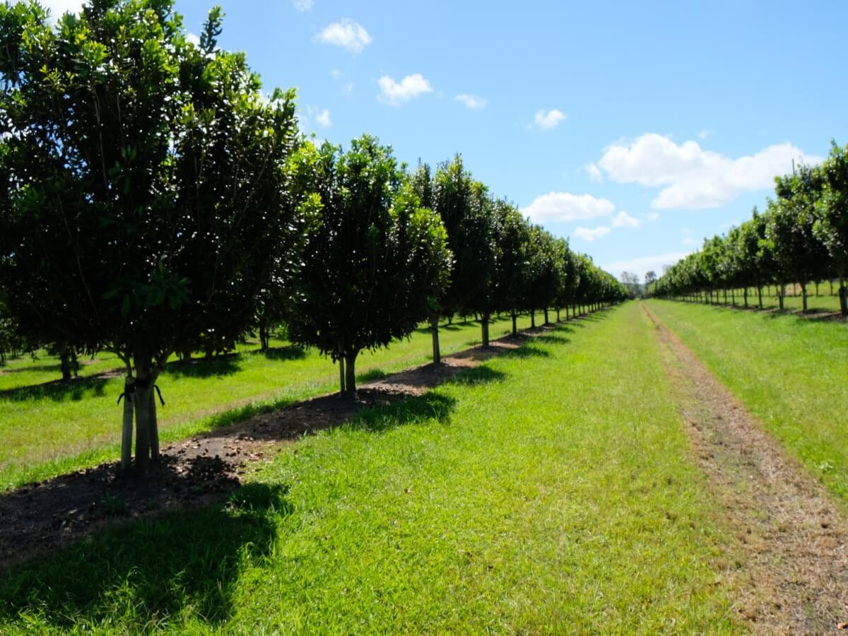 オーストラリアのマカデミアナッツ農園を訪問しました その2