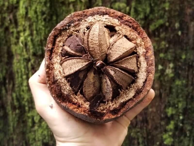 優れた栄養価で話題のナッツ「ブラジルナッツ」をご存知ですか?