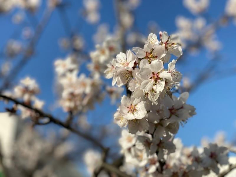 そっくりな花「アーモンド」と「桜」の違いや簡単な見分け方とは