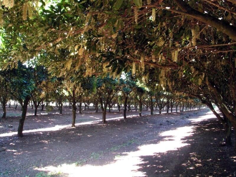 マカデミアナッツ マカダミアナッツ オーストラリア 産地 原産国 ハワイ 花 品種