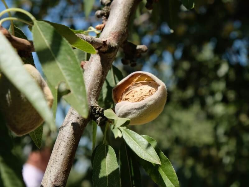 アーモンド 実 収穫 種子 食用