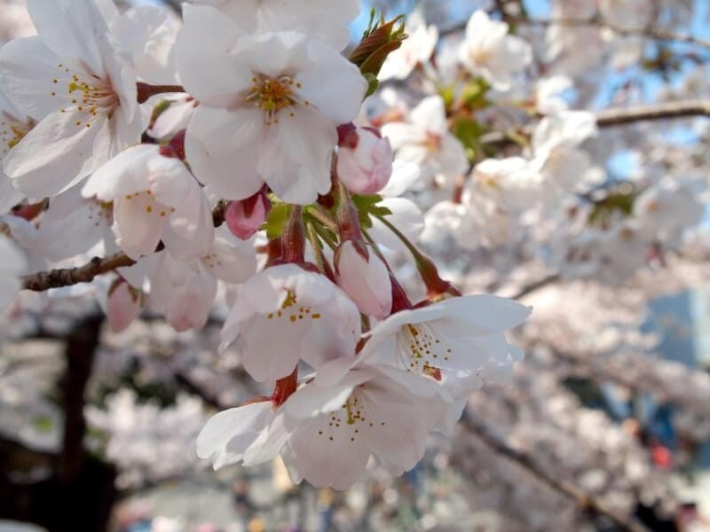 アーモンド 花 アメリカ カリフォルニア 桜 違い 見分け方