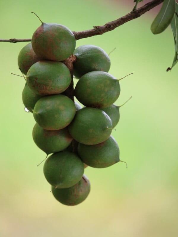 マカデミアナッツ マカダミアナッツ オーストラリア 産地 原産国 ハワイ 実 収穫