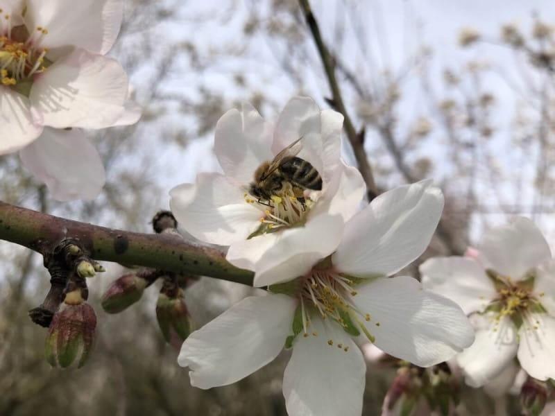 アーモンド 実 結実 受粉 ミツバチ 蜜蜂 他花受粉
