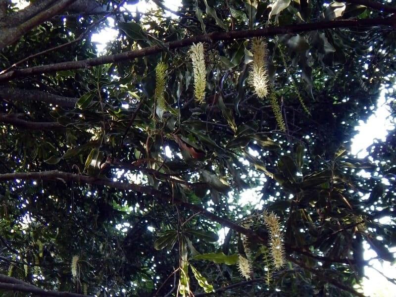 マカデミアナッツ マカダミアナッツ オーストラリア 産地 原産国 ハワイ 花 品種 苗