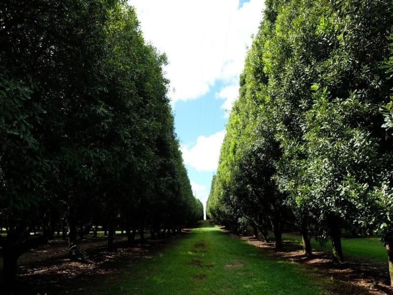 マカダミアナッツ マカデミアナッツ 木 農園 オーストラリア