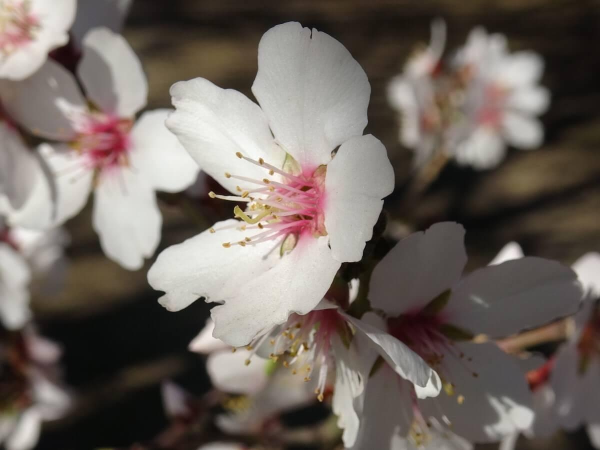 アーモンドの花 育て方 種 Q&A 質問 回答 咲かそうアーモンド