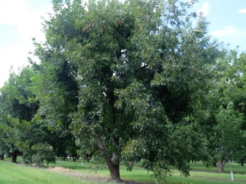 ピカンナッツ 木 実 収穫 アメリカ